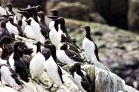 Guillemot colony - Farne Islands