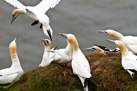 Gannet_group3____14_June__2010-1823