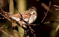 Reed Bunting female.