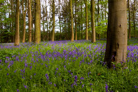 Rigsby Bluebell wood
