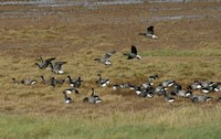 Brent Geese - Donna Nook