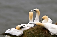 Gannet_group4____14_June__2010-1829