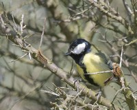 Great tit - that looks tasty.