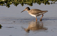 Redshank   local ponds.