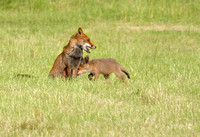 Vixen with cub