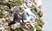 Puffin_in_flight___14_June__2010-1876