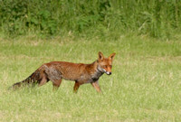 Vixen walking