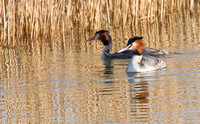 Great Crested Grebe breeding pair.