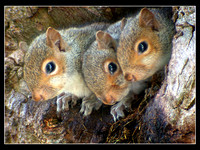 3 baby Squirrels I digiscoped a few years ago. This hole is only 6 inches wide.