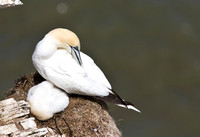 Gannet_with__chicks___14_June__2010-1893